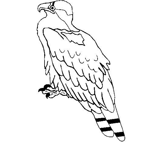 Dibujo de Águila para Colorear