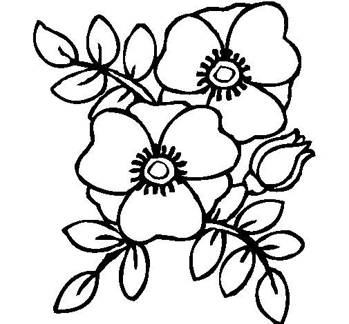Dibujo de Amapolas para Colorear  Dibujosnet