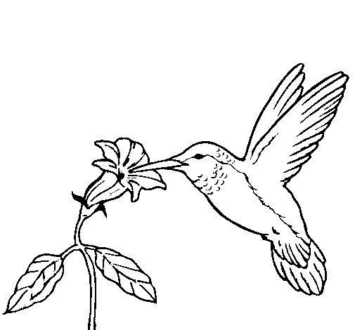 Dibujo de Colibrí y una flor para Colorear