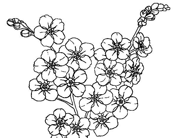 Dibujo de Flor de cerezo para Colorear