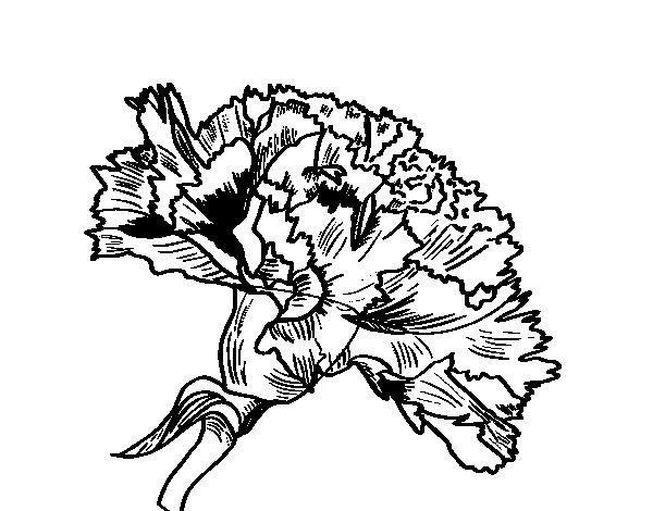 Dibujo de Flor de clavel para Colorear