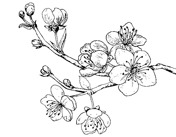 how to draw a sakura flower branch