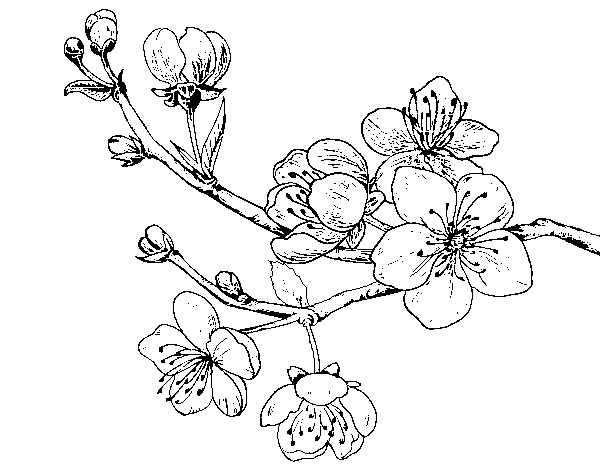 Dibujo de Rama de cerezo para Colorear   Dibujos.net